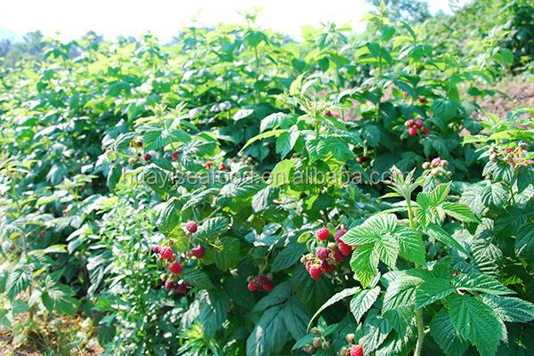 Naturally growth IQF frozen raspberry in bulk packing