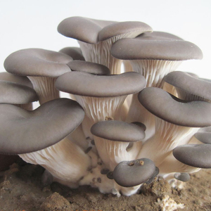 how to prepare home growing dry oyster mushroom in soup