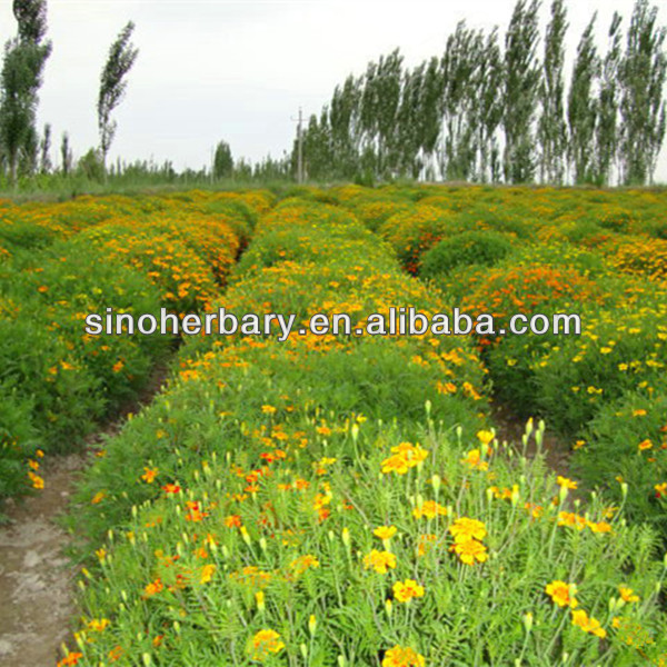 High germination small French marigold seeds for sale