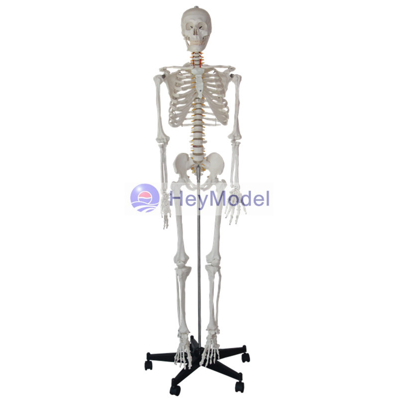 Human Skeleton Human Skeleton Suppliers And Manufacturers At