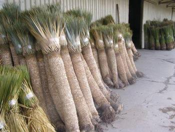 Yucca Rostrata - Buy Yucca Product on Alibaba.com