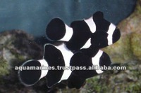 Aquarium Fish Black Nemo Clown Tropical Fish