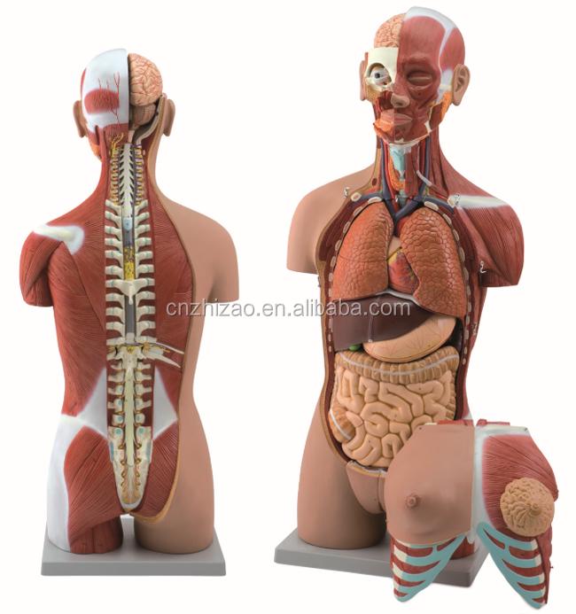 28 Parts 85cm Muscular Dual Sex Open Back Human Anatomy Torso Model