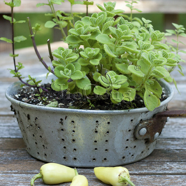Why Do Indians Worship the Tulsi Plant - Holy Basil Plant ... |Basil Leaves In Spanish