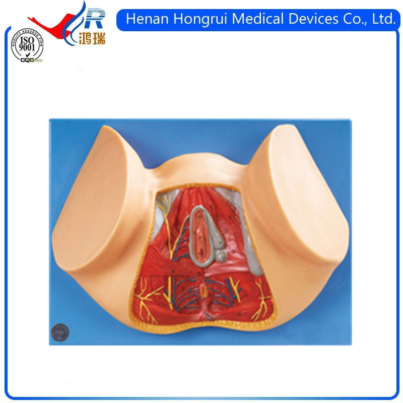 Female Perineum Anatomy Model Buy Female Perineum Anatomy Model