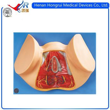 Female Perineum Anatomy Model Buy Female Perineum Anatomy Model