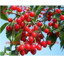 Canned cherry fruit in syrup manufacturer