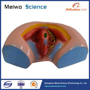 Female Perineum Model Anatomy Model For Medical Teaching Buy