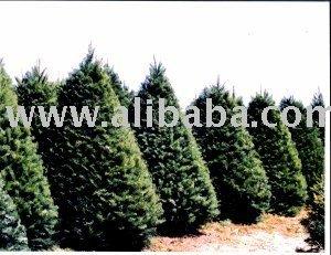 Douglas Fir Christmas Tree.Wholesale Real Christmas Trees Oregon Noble Fir Douglas Fir Grand Fir Buy Christmas Trees Product On Alibaba Com