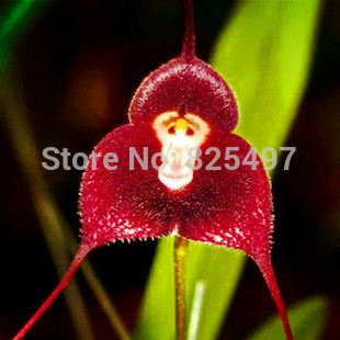 blument pfe pflanzer garten bonsai samen orchidee samen blumen affen orchidee selten orchidee. Black Bedroom Furniture Sets. Home Design Ideas