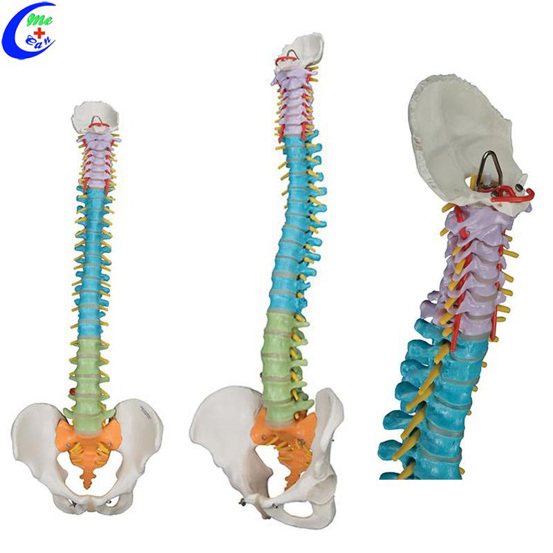 Spine Anatomical Model Colored Flexible Vertebral Column Model Buy