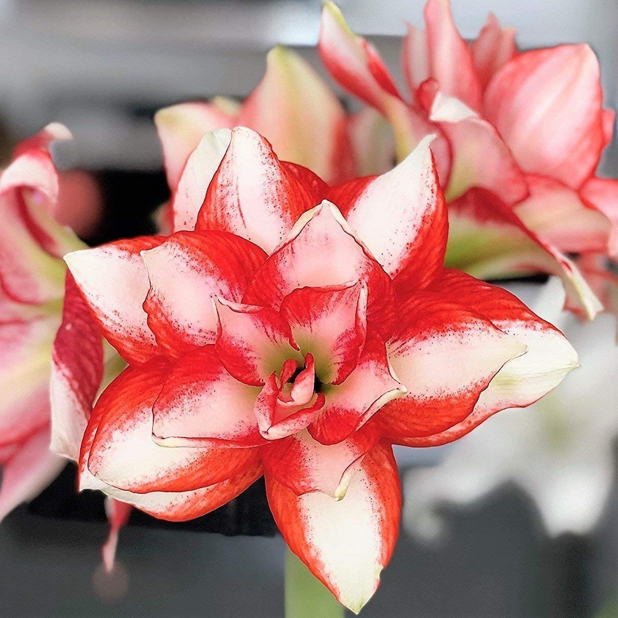 7d664a15944 Get Quotations · 1 Double Amaryllis Bulb Red and White Candy Cane Amaryllis Exotic  Peacock - 26 28cm