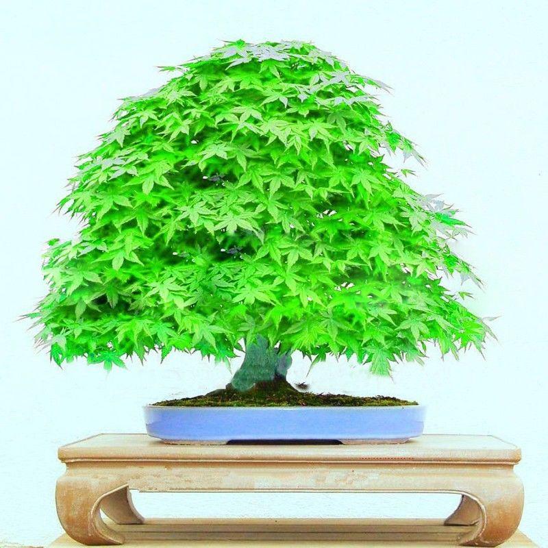 Japanese Garden Indoor: Popular Japanese Indoor Plants-Buy Cheap Japanese Indoor