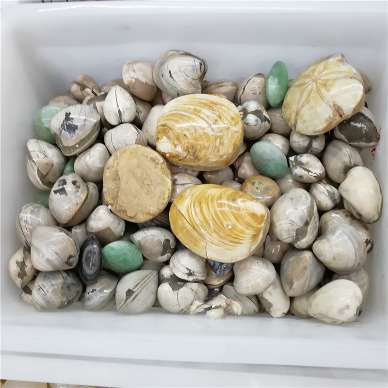 Wholesale Natural Fossil Seashells for decoration