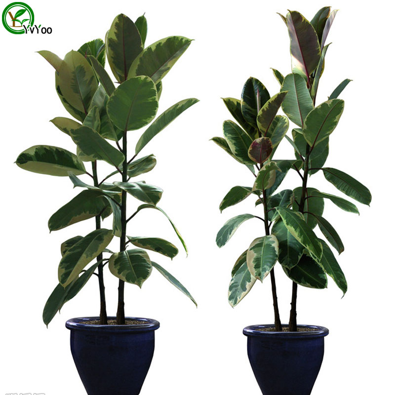 Online Buy Wholesale Rubber Tree Plant From China Rubber