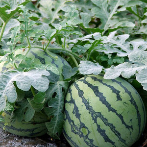 China hybrid seeds water melon seeds wholesale