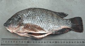 Tilapia Whole fish