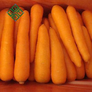 Fine Price carrot farm fresh farm price carrot