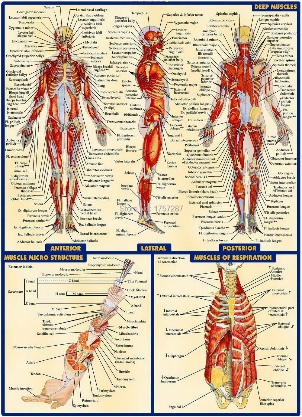 """03 Human Anatomy All System Deep Muscles Map [14""""x19"""" inch ..."""