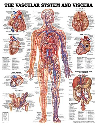 Cheap Peripheral Vascular System, find Peripheral Vascular System ...