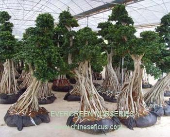 ficus microcarpa ficus bonsai tree buy ficus microcarpa artistic ficus microcarpa bonsai. Black Bedroom Furniture Sets. Home Design Ideas
