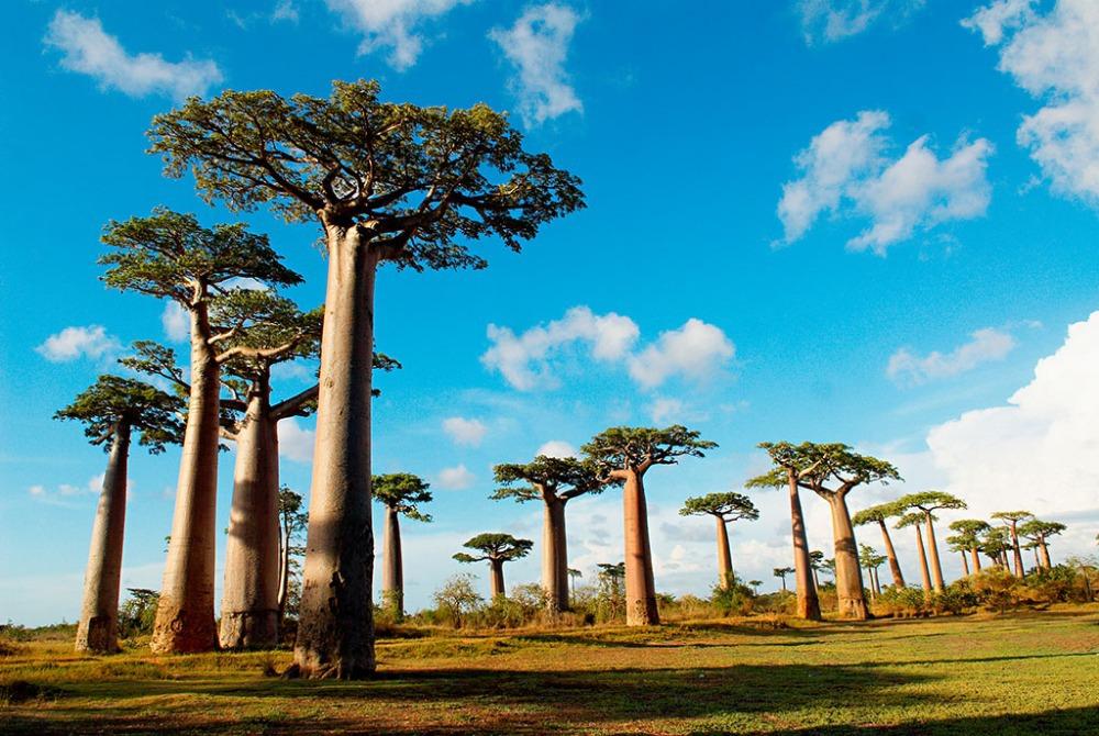 Hasil gambar untuk Pohon Baobab