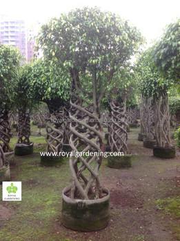 Ficus Cage Nursery Topiary Tree High 2 5 8m
