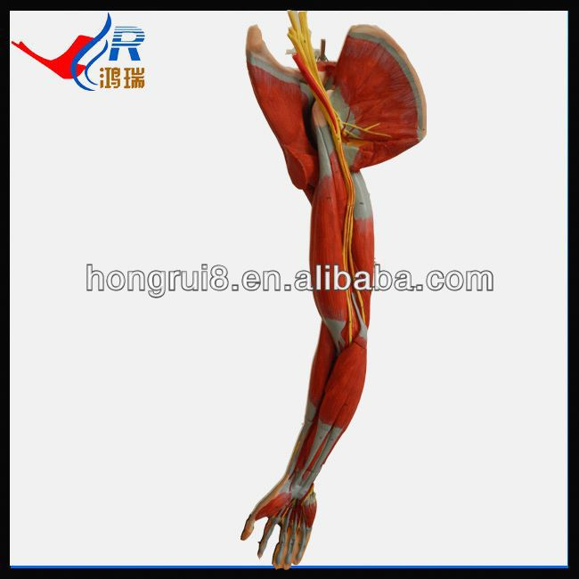 Medical Muscles Of Arm Modelupper Limb Anatomical Model Buy Upper
