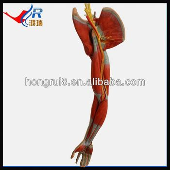 Medical Muscles Of Arm Model,Upper Limb Anatomical Model - Buy Upper ...