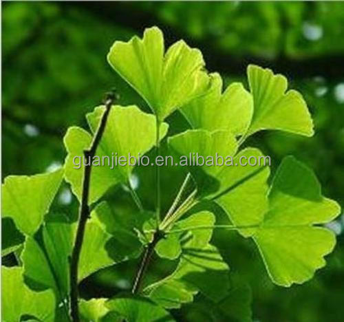 Ginkgo Biloba Extract / 24% GingkoFlavoglycosides / 6% Total terpene lactones