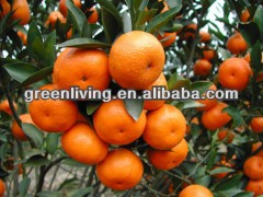 Good quality / Nanfeng baby mandarin orange / fruits exporter