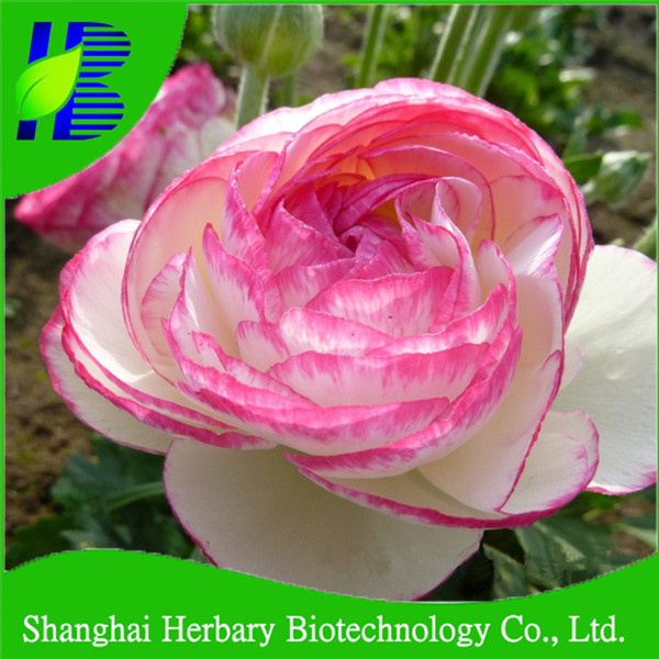 Good looking ranunculus flower seeds for garden flowers decoration