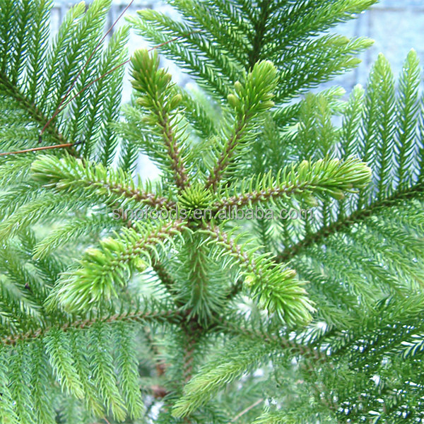 Wholesale Types Of Seeds Araucaria Plant
