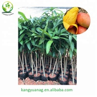 All kinds of Mango grafted fruit tree seedling
