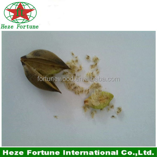 Asia native species paulownia Fortunei seeds