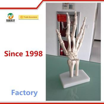 Office Supplier Plastic Teaching Human Hand Anatomy Model Buy