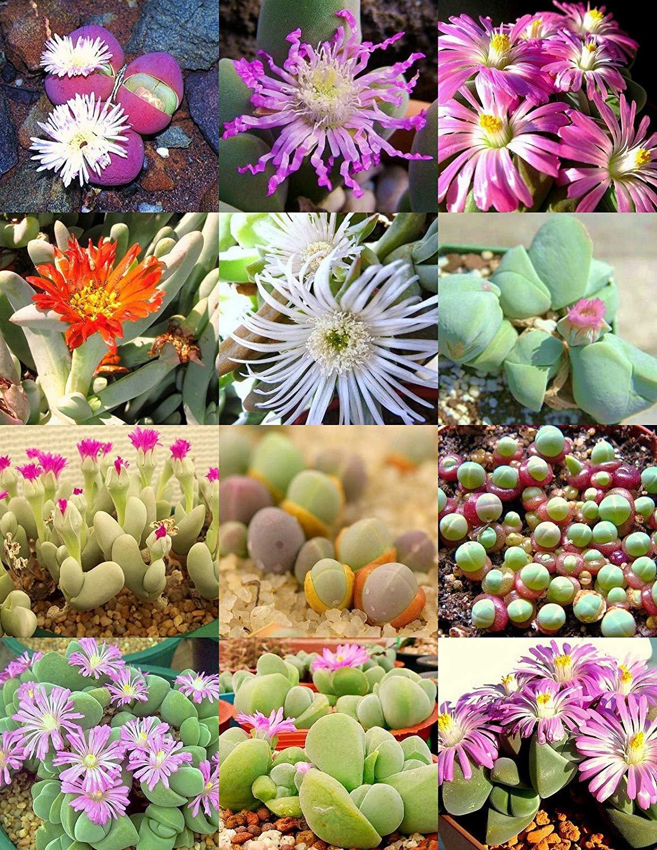 RARE EUPHORBIA PLATYCLADA @J@ flowering exotic cactus cacti seed 5 SEEDS