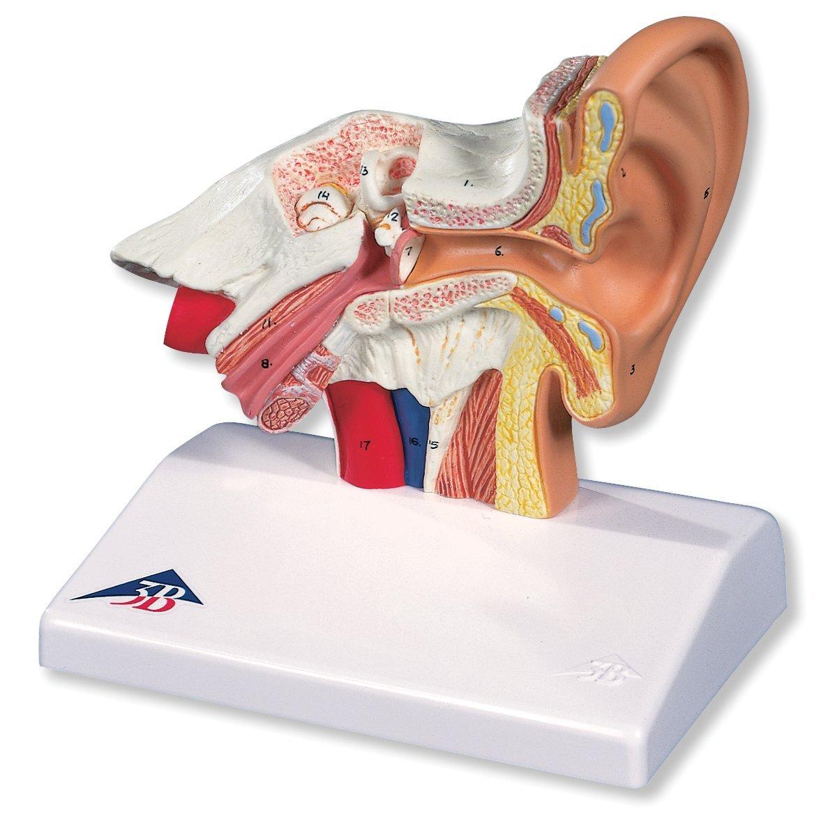 Cheap Ear Examination Model, find Ear Examination Model deals on ...