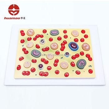 Hm-bd-052 Blutkörperchen Modell Blutkörperchen Anatomie Modell ...