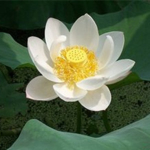 Stamen Nelumbinis, Stamen Nelumbinis Suppliers and