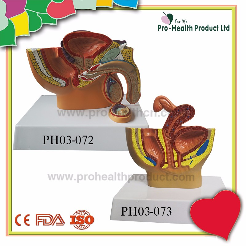 Human Male Prostate Pelvis Reproductive Urinary System Model