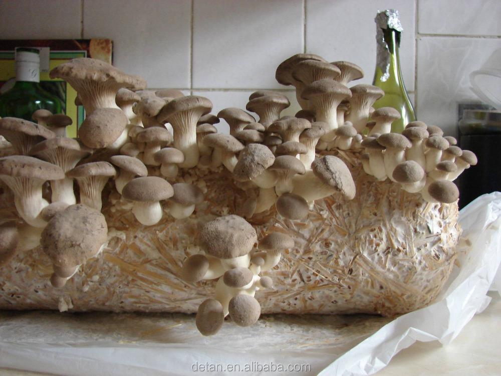 Detan eryngii гриб Журналы/выращивания грибов