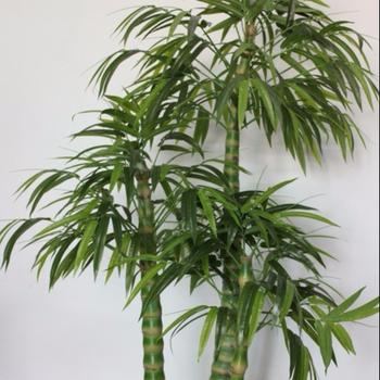 Kunstlichen Bambus Innen Bambus Bambus Konserviert Buy Kunstliche