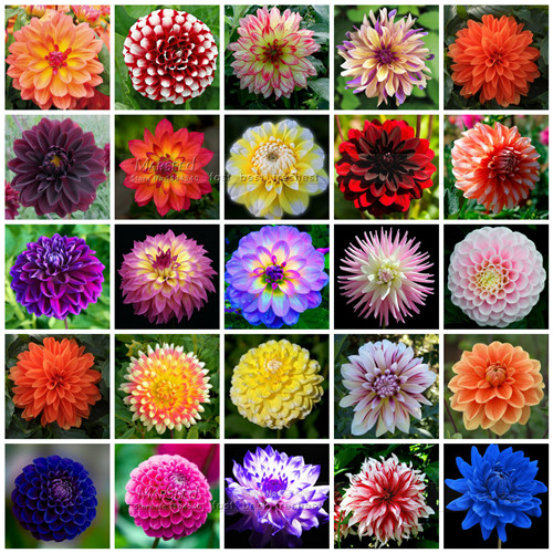 50 seeds color gorgeous dahlia flower seeds easy to grow diy home garden flower free shipping