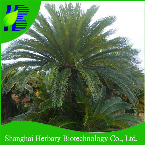 Cycad seeds/Cycas revoluta seeds/ Ironwood seeds for sowing