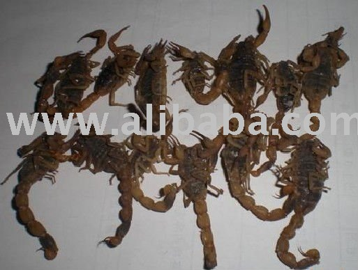 dried scorpion/buthus martensi/Chinese medicine