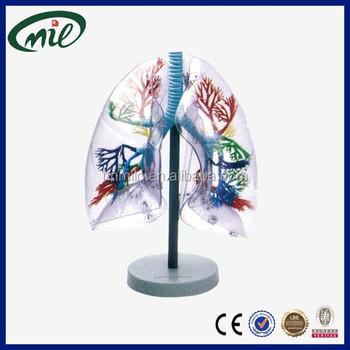 Anatomische Menschlicher Lunge Simulator,Transparent Lunge Segment ...