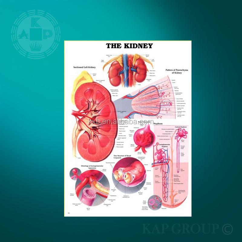 Estudio Gráfico De Riñón 3d Riñón Anatomía Médica Gráfico - Buy ...