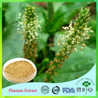 High Quality Pure Natural Plantago Major Extract