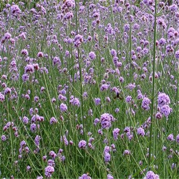 100%natural Verbena Extract with factory direct supply